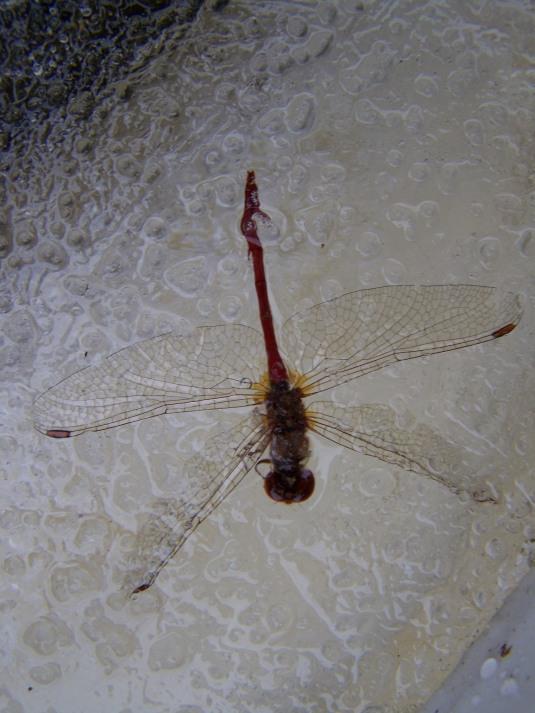 fozendragonfly2