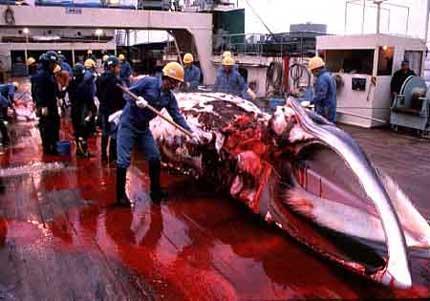 japan_whaling