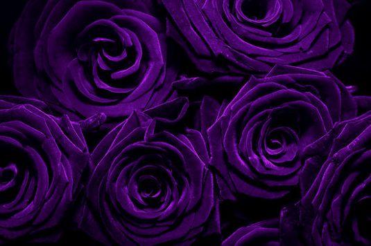 832342-12-purple-roses